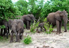 5. CHOBE ELEPHANTS & EASY ACCESSIBILITY TO VICTORIA FALLS
